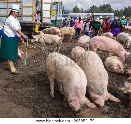 A Woman Holds The Reigns On Two Pigs She Is Selling In The Cuenca Live Animal Market