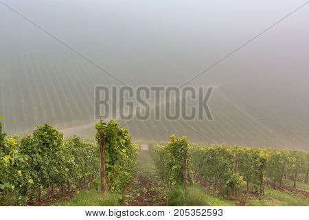 Vineyards in autumn. Autumnal landscape in the vineyards of Luxembourg at the Moselle on a foggy morning