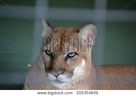 The Florida panther an endangered member of  the cougar family (Puma concolor) that lives in the forests and swamps of southern Florida