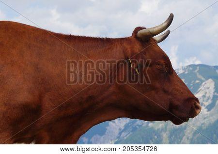 Bull head profile against a cloudy mountain sky.