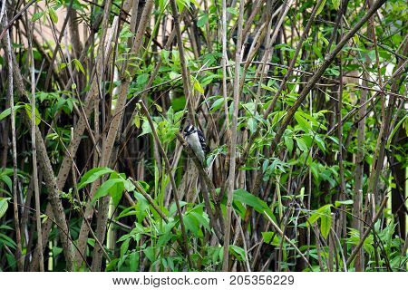 A small male downy woodpecker (Piccoides pubecens) perches on the trunk of an elderberry bush (Sambucus nigra), in a garden in Joliet, Illinois during May.