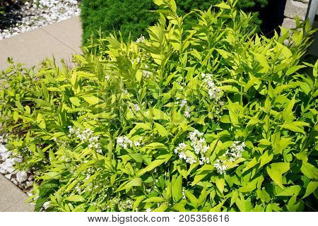 A slender deutzia bush (Deutzia gracilis) blooms in a garden in Joliet, Illinois, during May.