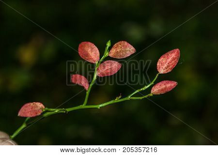 Branch Of A Forest Blueberry