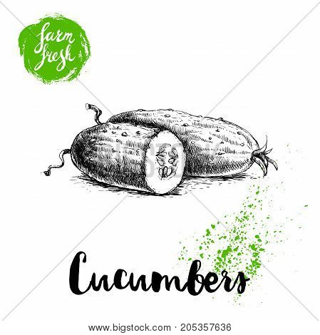 hand drawn sketch style whole cucumber and half of cucumber. Vector fresh farm vegetables poster. Retro illustration.