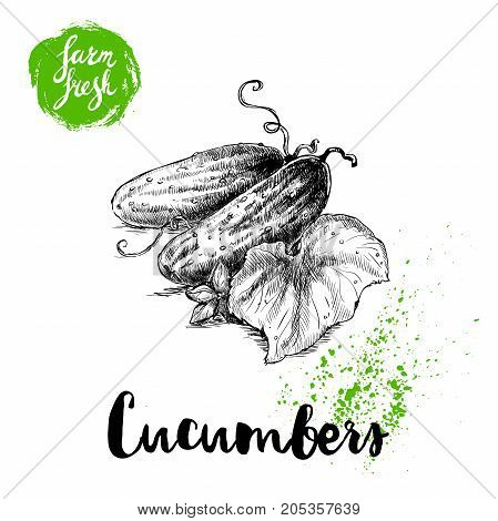 Hand drawn sketch style whole cucumbers and leaf. Vector fresh farm vegetables poster. Retro illustration.