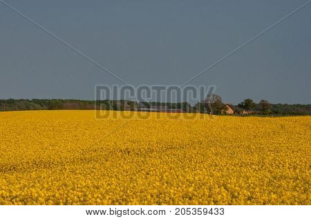 rapeseed field near town of Vordingborg in Denmark