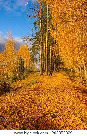 Autumn landscape. Alley in the autumn forest strewn with fallen yellow birch leaves on a sunny bright day