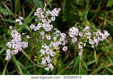 Yarrow Achillea millefolium Aster family (Asteraceae) wild Illinois flower
