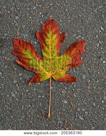 Colorful maple leaf fallen to the ground