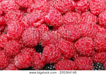 rich crop of red ripe and tasty raspberry