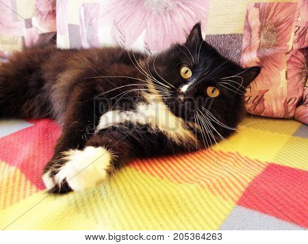 nice lazy black cat with big white whiskers lies on the colored sofa poster