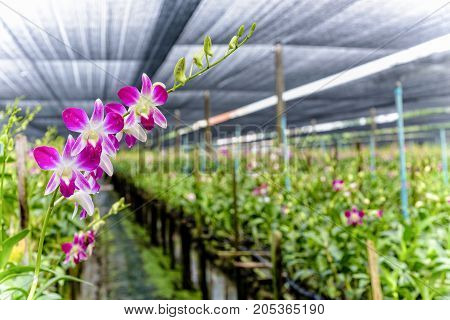 Pink flower bouquet on the stem of Dendrobium orchid in the greenhouse. The orchid farm is an agricultural industry in Thailand.