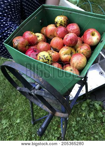 Processing Of Apples For Juice Production. A Mechanical Grinder For Grinding Apples, Filled With Jui