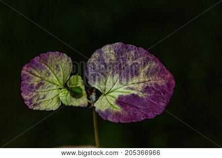 Magenta Autumn Leaf