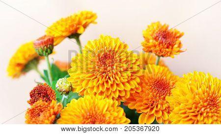 Autumn chrysanthemum flowers bouquet over beige background