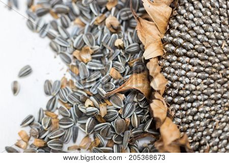 close up macro background texture freshly harvested and dried sunflower head and raw seeds