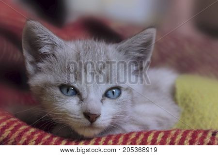 Cropped shot of Cute little kitten with blue eyes.