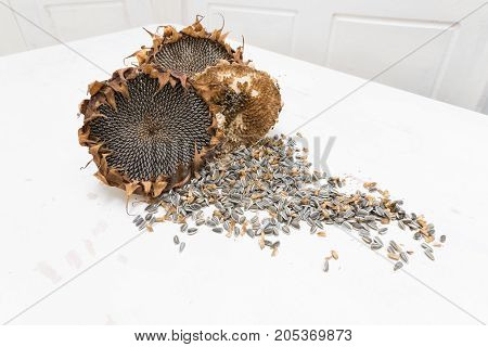 Two Freshly harvested and dried organic sunflower heads on white background wooden rustic table with seeds,  copy space