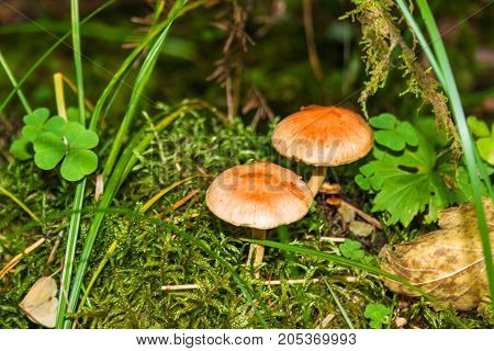 Poisonous Forest Mushrooms Close-up.
