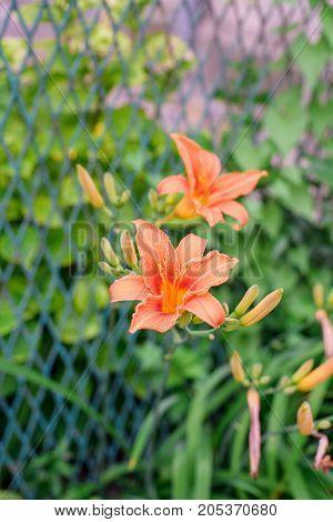 Lily Flower In Garden