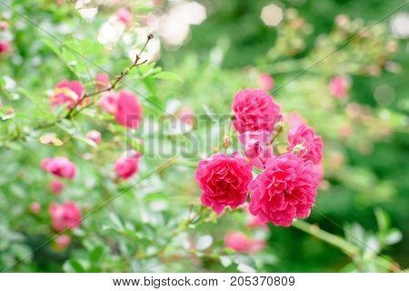 Rose Bush Flowers