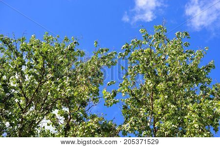 Green foliage of poplars against the blue sky.