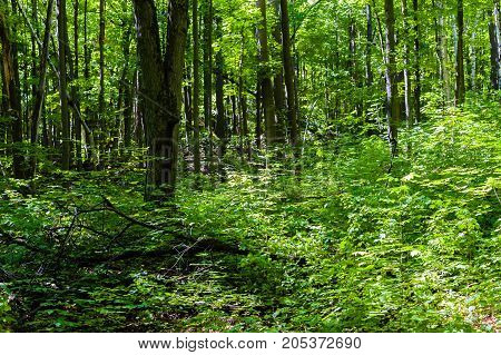 Dense green forest with leafy shrubs in sun and shadows.