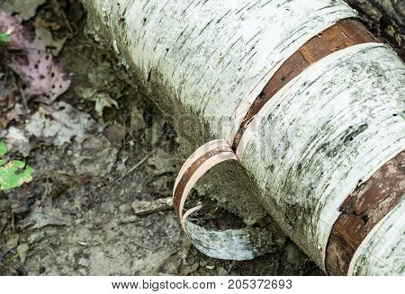 Close-up detail of bark peeling off birch log on muddy ground.