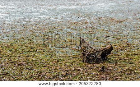 Dead tree stump sinking in large muddy swamp covered in algae and seaweed.