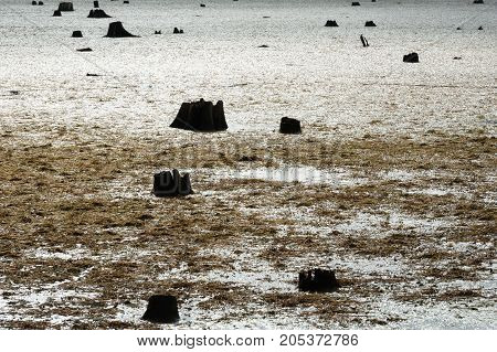 Remains of dark dead tree stumps contrasted against large muddy swamp covered in algae and seaweed.