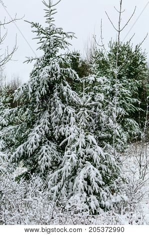 Pine trees covered in a blanket of snow in Wisconsin