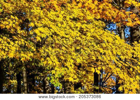 Abundant golden color maple leaves in autumn