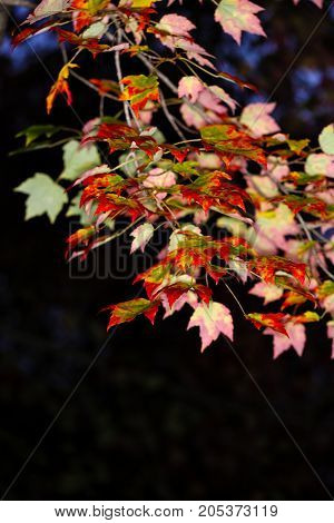 Colorful maple branch in front of a dark background