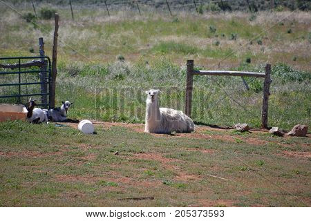 llama relaxing on a partially sunny day in colorado
