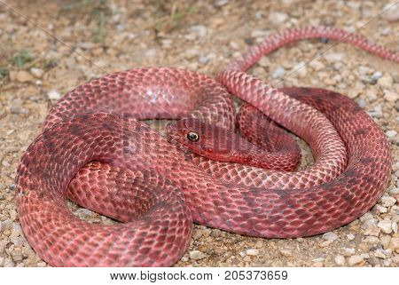 A bright red western coachwhip photographed in west Texas.
