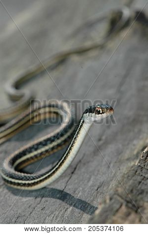A ribbon snake photographed on a log from north western Missouri.