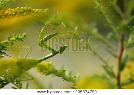 a medium sized praying mantis photographed while hunting in weeds and flowers.