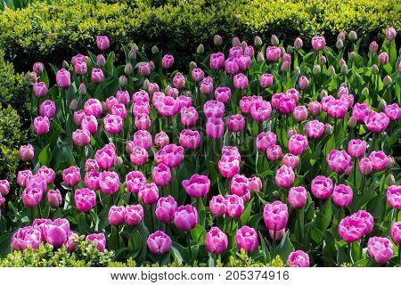 Pink Color Tulip Flowers Bloom