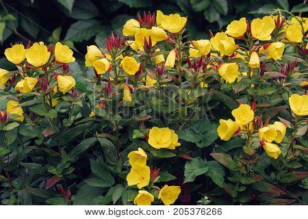 garden yellow flowers. horizontal day shot close-up