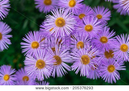Purple flowers in the garden. horizontal day shot