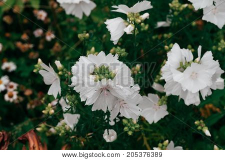 garden White mallow flowers close-up. horizontal day shot