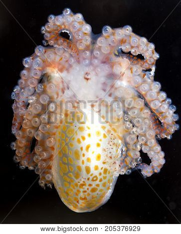 A paralarval octopus is out hunting at night