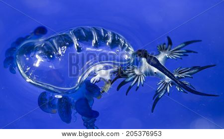 A blue dragon nudibranch is consuming its favorite prey: a man-o-war jellyfish