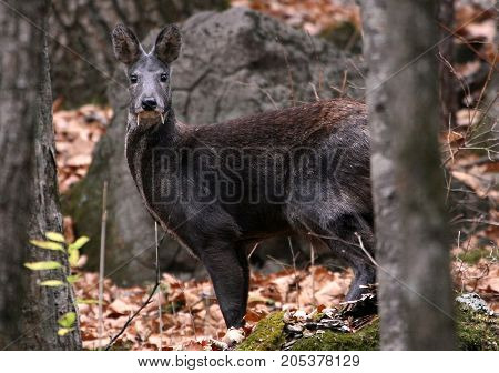Musk deer are artiodactyls, which has spawned many myths and superstitions associated with its feature - long fangs. Because of these tusks growing from the upper jaw, the deer was long considered to be the vampire who drinks the blood of other animals.