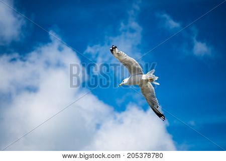 Lone Seagull flying with blue skys and white clouds