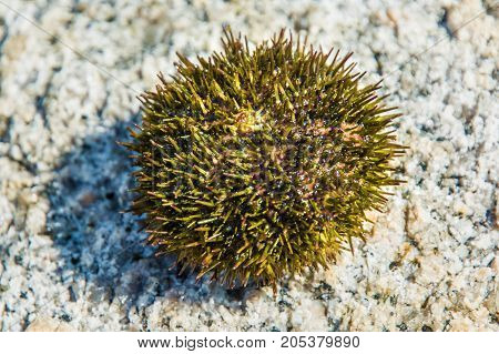 beautiful sea Hedgehog many poisonous needles. lies on the stone