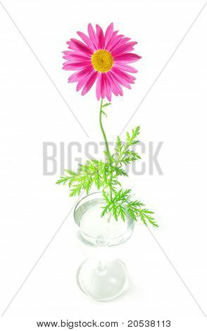 Camomile flower in a glass.