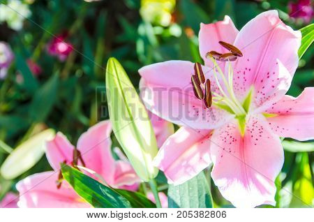 Lilly flower in the garden for nature background