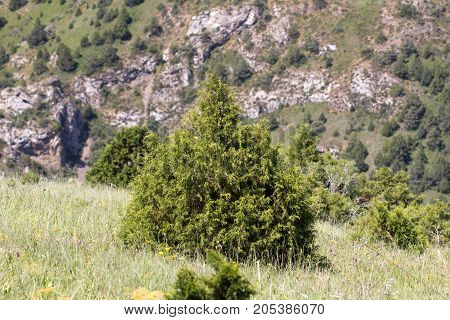 pine tree in the mountains . In the park in nature