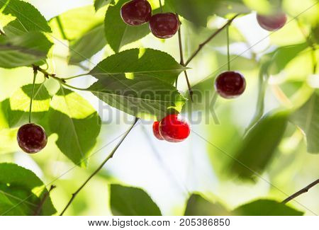 ripe cherries on the tree . In the park in nature
